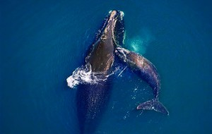 Right Whale Calfing