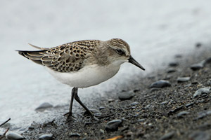 Semipalminated Sandpiper